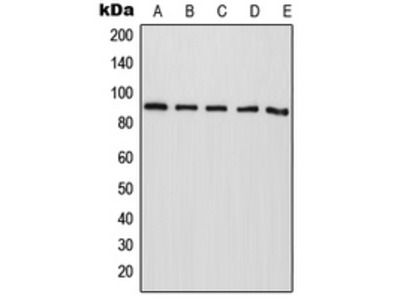 Anti-CAPRI Antibody