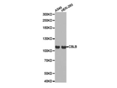 CBLB Antibody