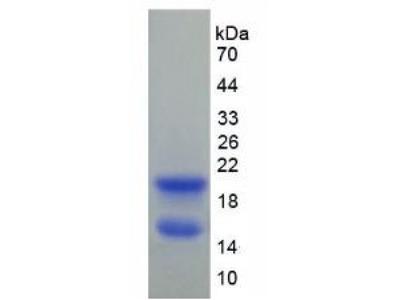 Rat Connexin 40 (CX40) Protein