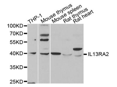 Interleukin 13 Receptor Alpha 2 (IL13RA2) Antibody