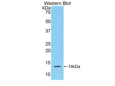 Serum Amyloid A (SAA) Antibody