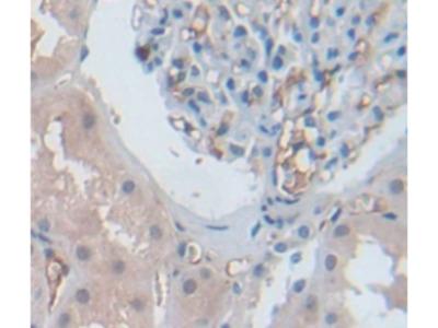 Connexin 37 (CX37) Antibody