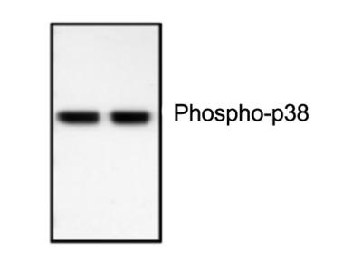 Phospho-p38 MAPK Antibody