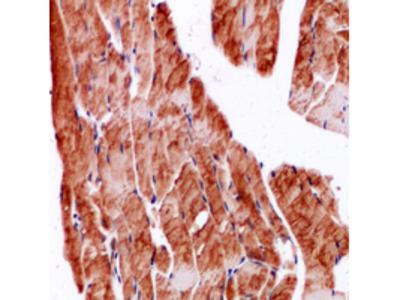 Secreted Protein, Acidic, Cysteine-Rich / Osteonectin (SPARC) Antibody