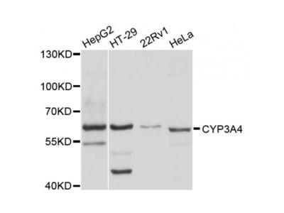 Cytochrome P450 3A4 (CYP3A4) Antibody