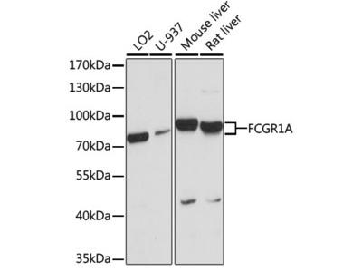 Anti-CD64 antibody