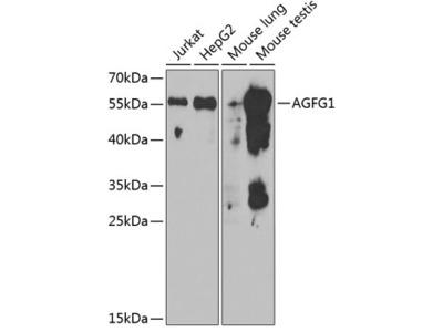 Anti-RIP / Rab antibody