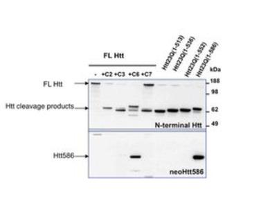 Anti-Huntingtin (neoepitope 586) antibody