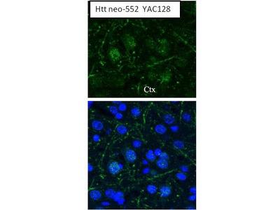 Anti-Huntingtin (neoepitope 552) antibody