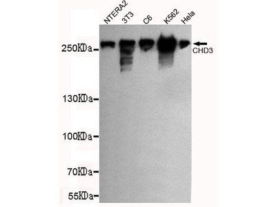 Anti-CHD3 antibody [7F6-G2-E5]