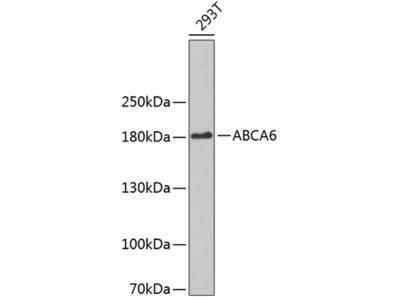 Anti-ABCA6 antibody