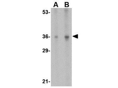 Anti-IL33 (pro) antibody