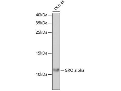 Anti-CXCL1 / GRO alpha antibody
