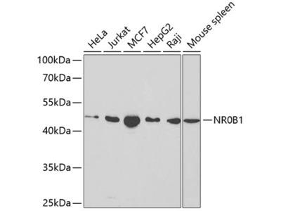 Anti-NR0B1 antibody