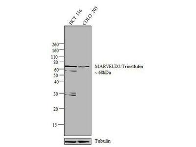 Anti-MARVELD2 antibody