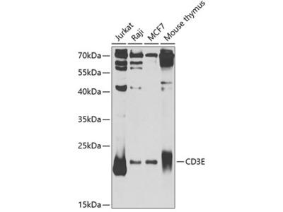 Anti-CD3 epsilon antibody
