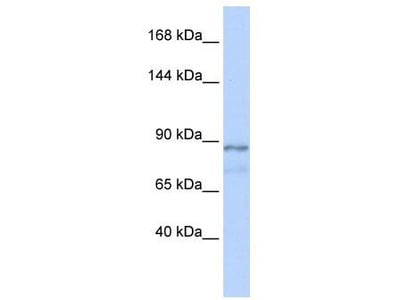 Rabbit Polyclonal Anti-ZFAT1 Antibody