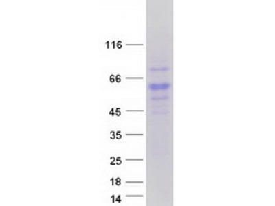 RTN4RL2 MS Standard C13 and N15-labeled recombinant protein (NP_848665)