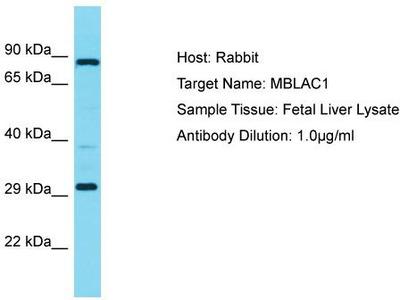 Rabbit Polyclonal Anti-MBLAC1 Antibody