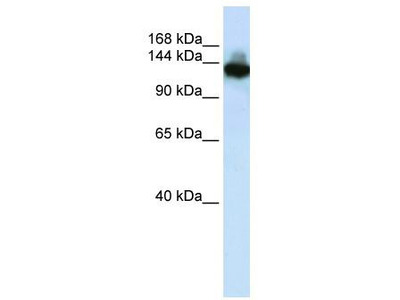Rabbit Polyclonal Anti-SCAND3 Antibody