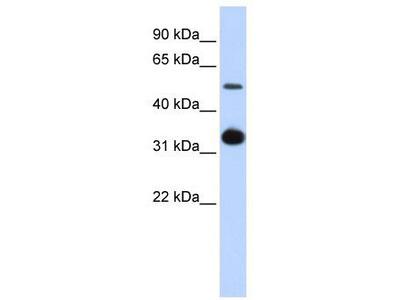 Rabbit Polyclonal Anti-GDF2 Antibody