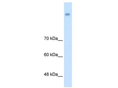 Rabbit Polyclonal Anti-NRCAM Antibody