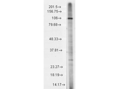 Mouse Monoclonal Anti-TrpC7 Antibody