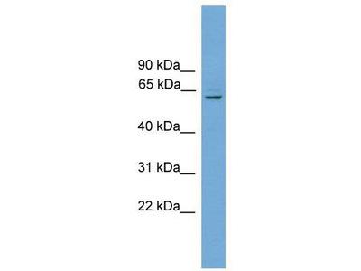 Rabbit Polyclonal Anti-Plbd1 Antibody