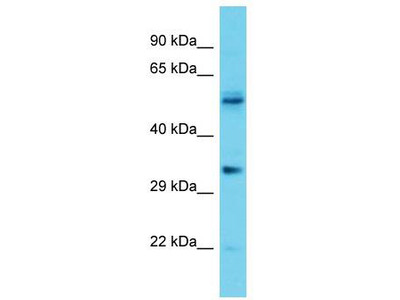 Rabbit Polyclonal Anti-OR5V1 Antibody