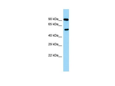 Rabbit Polyclonal Anti-Ppp2r2a Antibody
