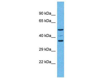 Rabbit Polyclonal Anti-OR5K4 Antibody
