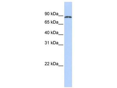 Rabbit Polyclonal Anti-CPEB4 Antibody