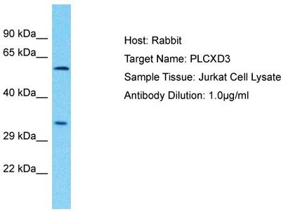 Rabbit Polyclonal Anti-PLCXD3 Antibody