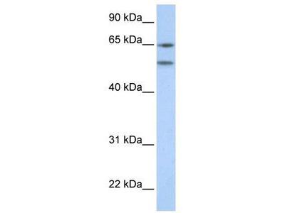Rabbit Polyclonal Anti-HTR2A Antibody