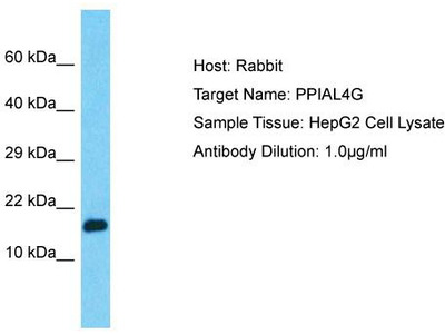 Rabbit Polyclonal Anti-PPIAL4G Antibody