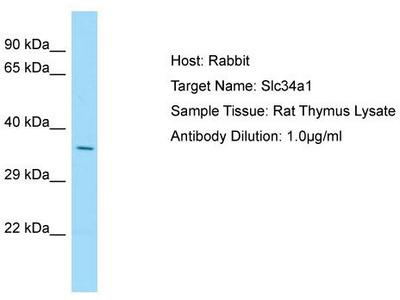 Rabbit Polyclonal Anti-Slc34a1 Antibody