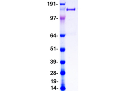 PLA2R1 MS Standard C13 and N15-labeled recombinant protein (NP_001007268)