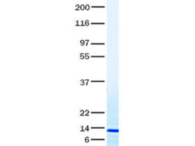 Purified recombinant protein of Human chemokine (C motif) ligand 1 (XCL1)