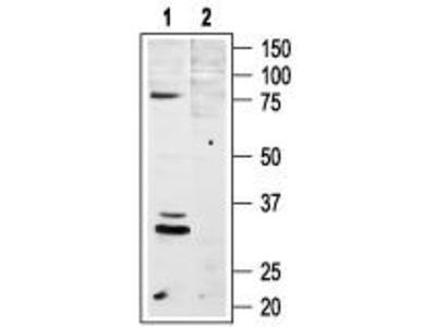 Rabbit Polyclonal Anti-Melanocortin Receptor 4 (extracellular)