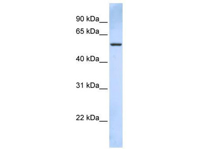 Rabbit Polyclonal Anti-TRIM43 Antibody