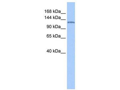 Rabbit Polyclonal Anti-NUP155 Antibody