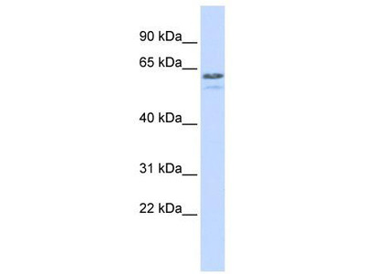 Rabbit Polyclonal Anti-TRIM6 Antibody