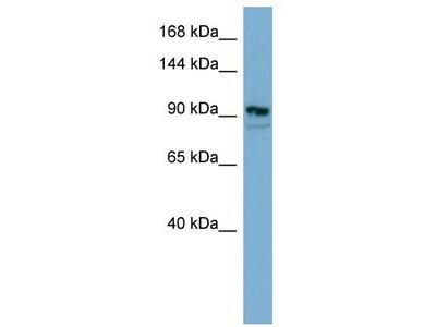 Rabbit Polyclonal Anti-ESYT2 Antibody