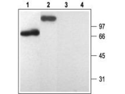 Rabbit polyclonal Anti-P2Y1 Receptor
