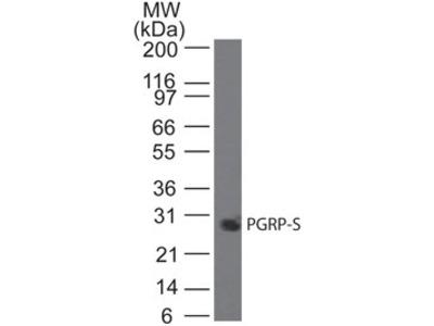 Mouse Monoclonal PGLYRP1/PGRP-S Antibody (188C424)
