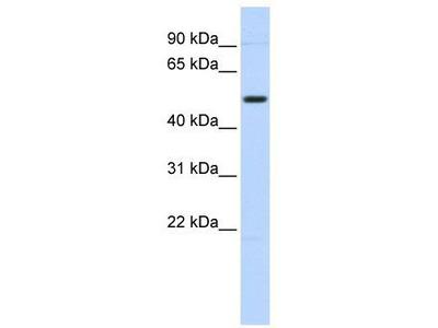 Rabbit Polyclonal Anti-TRIM55 Antibody