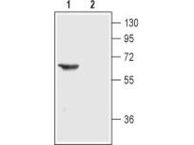 Rabbit Polyclonal Anti-Nicotinic Acetylcholine Receptor alpha3 (extracellular)