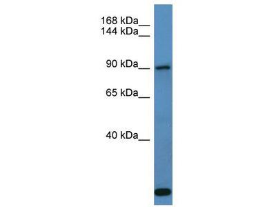 Rabbit Polyclonal Anti-COL27A1 Antibody
