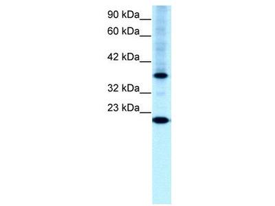 Rabbit Polyclonal Anti-TFCP2L1 Antibody
