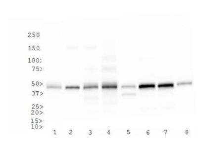 Rabbit Polyclonal CD4 Antibody